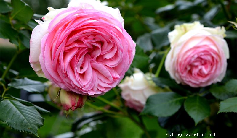 Foto: Romantica Eden Rose